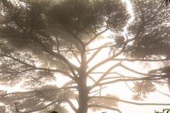 在雾淹没的杉树 免版税库存照片