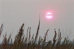 在雾灰色天空的桃红色日落太阳在干燥棕色草上词根  免版税库存图片