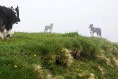 在雾的三只博德牧羊犬 免版税库存图片