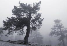 在雾的优胜美地杉木 免版税库存图片