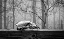 在雾的动物头骨 库存照片