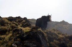 在雾的单独牦牛 峰顶雪西藏 尼泊尔 库存照片