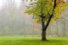 在雾的孤独的橡木 免版税库存照片