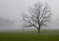 在雾的孤立橡树,大烟山国家公园,田纳西 免版税库存图片