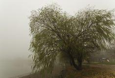 在雾的杨柳 库存图片