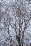 在雾的桦树分行 免版税库存图片