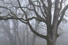 在雾的橡树 库存照片