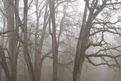 在雾的橡树 免版税图库摄影