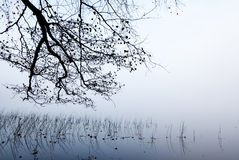 在雾的沿海树枝和芦苇 库存图片