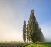 在雾的白扬树 免版税图库摄影