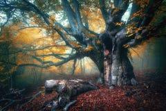 在雾的神仙的树 与大分支和桔子的老不可思议的树 免版税库存图片