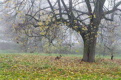 在雾的秋天树 免版税库存图片