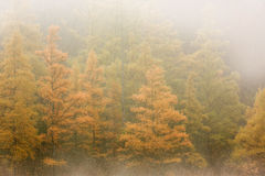 在雾的秋天Tamaracks 免版税图库摄影