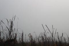 在雾的芦苇 免版税图库摄影