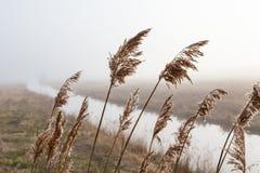 在雾的芦苇 免版税库存照片