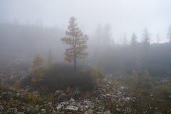 在雾的落叶松属树 库存图片