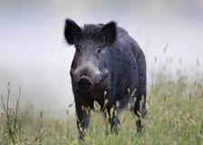 在雾的野公猪 库存照片