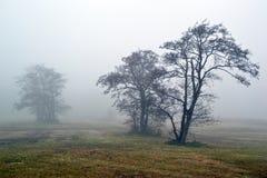 在雾的锥子树。 免版税库存图片