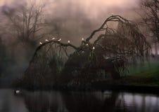 在雾的令人毛骨悚然的垂柳树 库存照片