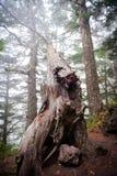 在雾的结构树 图库摄影