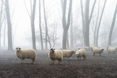 在雾的绵羊 库存图片