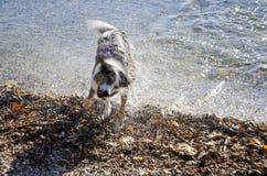 在震动水的行动的狗在浴戏剧以后 免版税库存照片