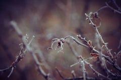 在霜下的野玫瑰果 库存照片