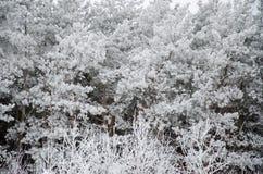 在霜冬天白色的杉木分支 免版税库存照片