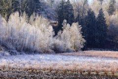 在霜和树盖的蓝莓领域 库存图片