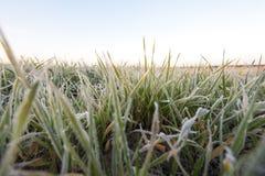 在霜期间的麦子 免版税库存照片