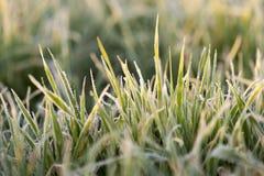 在霜期间的麦子 免版税图库摄影