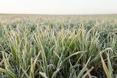 在霜期间的麦子 库存照片