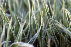 在霜期间的麦子 库存图片