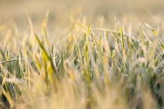 在霜期间的麦子 免版税库存图片