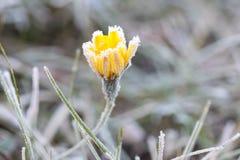 在霜的前朵橙色花在一冷淡的天 库存照片
