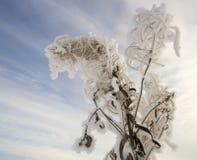 在霜的布什干伊冯茶在天空背景  免版税库存照片