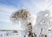 在霜的布什干伊冯茶在天空背景  图库摄影