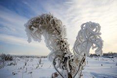 在霜的干燥布什野草在天空的背景 免版税库存图片