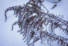 在霜的干燥花 图库摄影