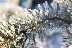 在霜的杉木 图库摄影