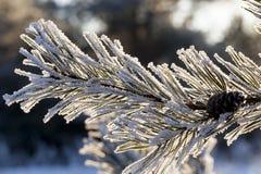 在霜的杉木 库存图片
