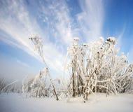 在霜的植物蜡菊属植物 免版税库存照片