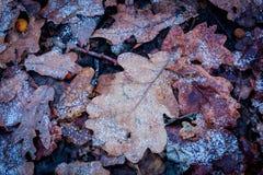 在霜的橡木leafage 库存图片
