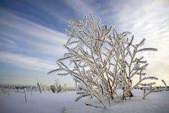在霜的灌木在天空背景  免版税图库摄影