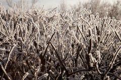 在霜的灌木 免版税库存照片