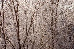 在霜的灌木 库存图片