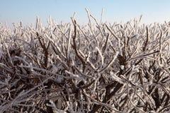 在霜的灌木 免版税库存图片