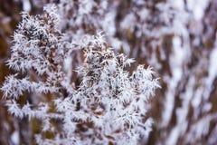 在霜的福禄考花 免版税图库摄影