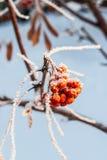 在霜的花楸浆果 免版税库存图片
