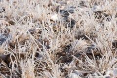在霜的草,早晨霜 免版税库存图片